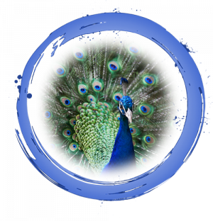Blue Ring with peacock